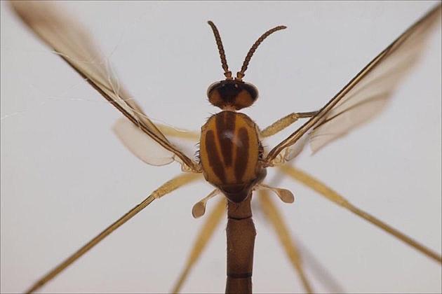 owad sciophila holopaineni